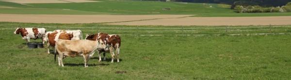 Die Kühe im Frühling Zuschnitt