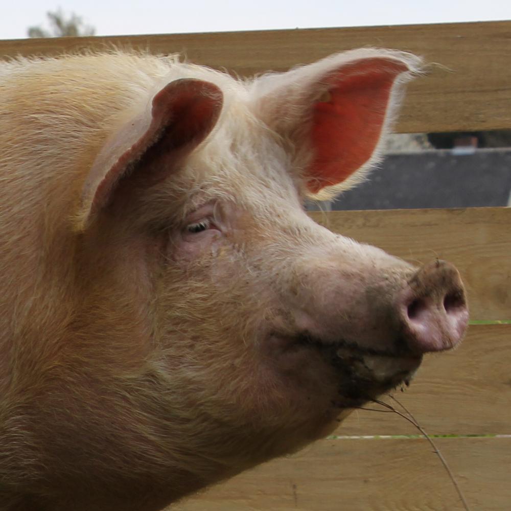 Portrait von Miss Piggeldy im Auslauf